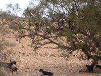 eindelijk op de foto: geiten in de arganboom
